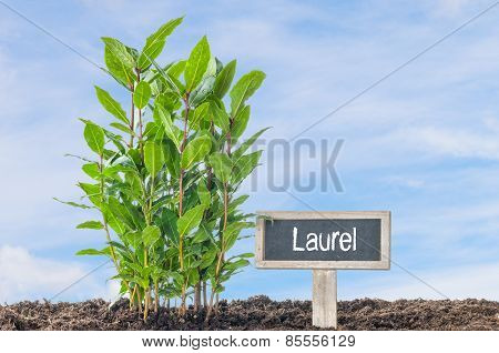 Laurel In The Garden With A Wooden Label