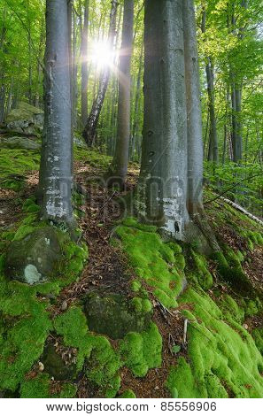 Sun rays in the forest. Spring landscape. Beautiful moss on trees and rocks