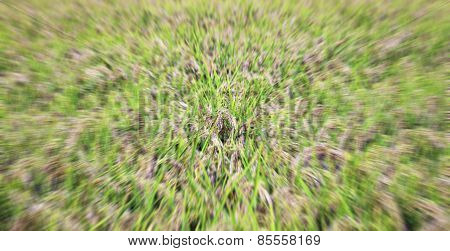 Mature rice explosion. Color image