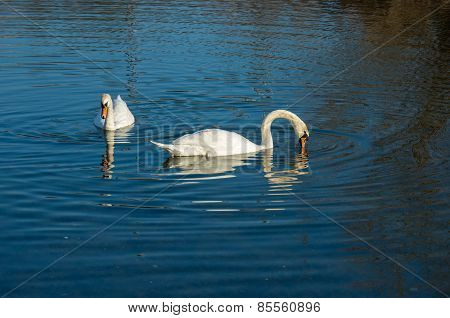 Two White Swan On Autumnal Blue Pond