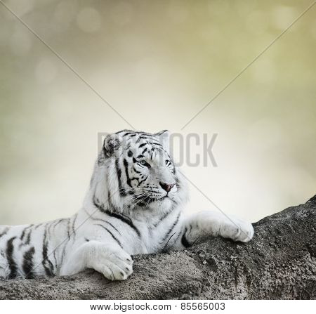 White Tiger Resting On A Rock