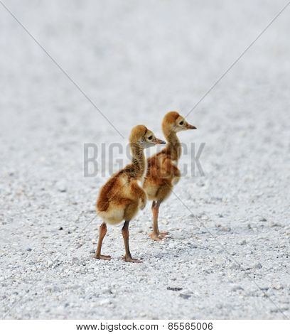 Two Small Sandhill Crane Chicks