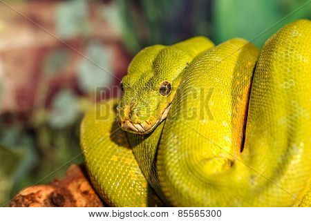 Fantastic Close-up Portrait Green Rattlesnake (poisonous Green Snake). Selective Focus, Shallow Dept