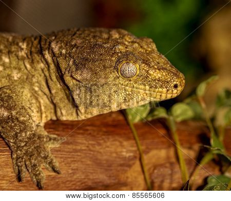Fantastic Close-up Portrait Of Tropical Gecko. Selective Focus, Shallow Depth Of Field. Tokay Gecko