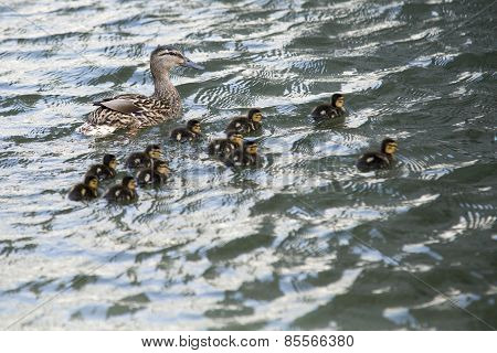 Duck With Ducklings Swimming On Lake Surface