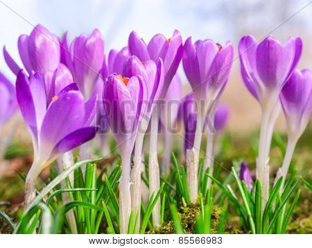 Beautiful Spring Blooming Purple Crocus Flowers