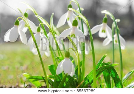First Spring Flowers Backlit Snowdrops On Sunshine Alpine Glade