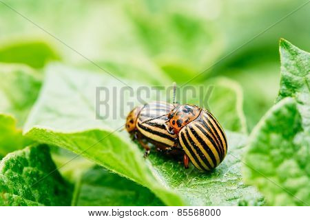 Macro Shoot Of Potato Bug On Leaf
