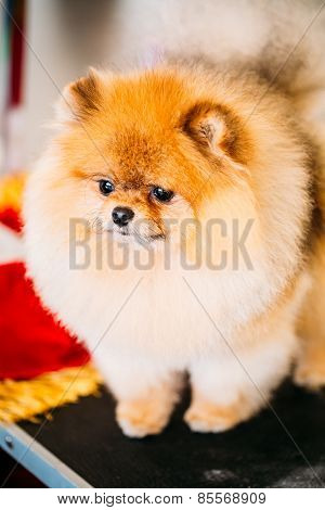 Pomeranian Puppy Spitz Dog Close Up Portrait