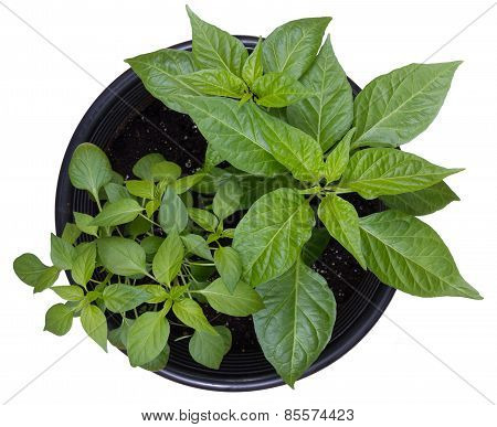 hot pepper potted plants