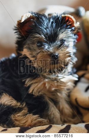 Yorkshire terrier sitting on the couch at home