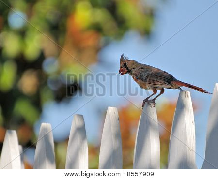 Cardinal On A Fence