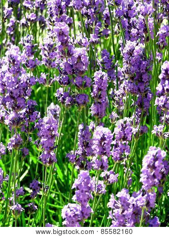 LILAC FLOWERS IN THE GREEN