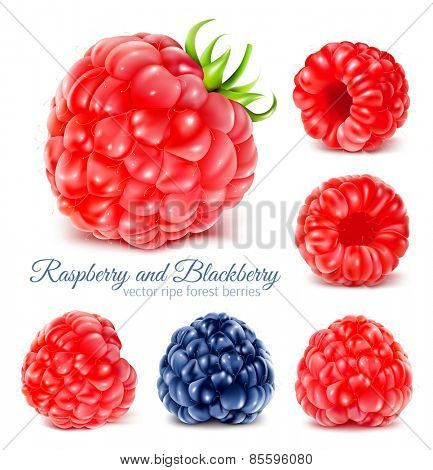 Collection of ripe raspberries and blackberry. Vector illustration.