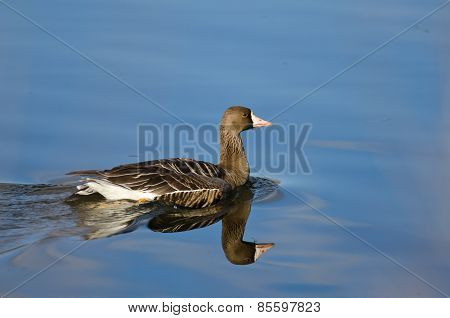 Greater White-fronted Goose Swimming In The Lake