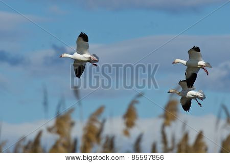 Three Snow Geese Landing In The Marsh