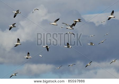 Flying In The Clouds With The Snow Geese