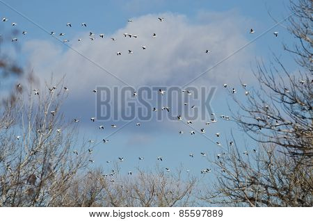 Flock Of Snow Geese Flying Through The Cloudy Sky