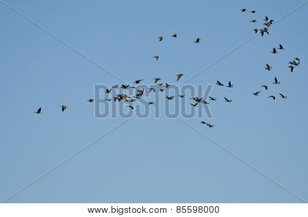 Large Flock Of Greater White-fronted Geese Flying In A Blue Sky