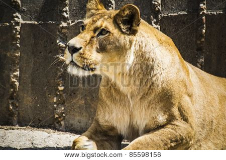Dangerous, Powerful lioness resting, wildlife mammal withbrown fur