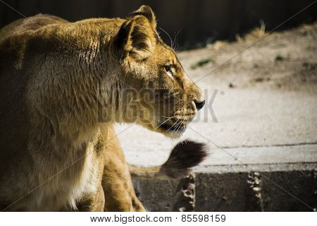 fur, lioness in a zoo park