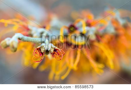 Closeup Of Flowering Jelena Witch Hazel