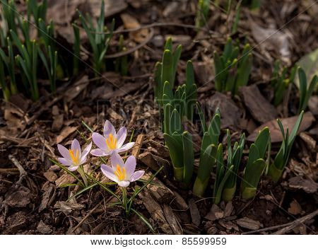 Crocus Blossoms In Dirt And Mulch Of Garden