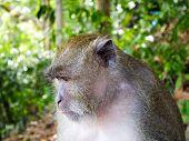 stock photo of koh phi-phi  - Monkey of Koh Phi Phi Don - JPG