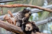foto of marmosets  - Callithrix Geoffroyi Small Black and White Monkey - JPG