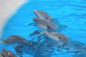 picture of bottlenose dolphin  - Funny Dolphins Swimming on a very Blue Water - JPG