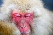 picture of macaque  - Close up of a Snow Monkey Japanese Macaques - JPG