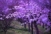 picture of cherry  - flower Cherry blossoms Spring beautiful flowers flowers in the country - JPG