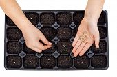 picture of germination  - Young hands sowing vegetable seeds in germination tray  - JPG