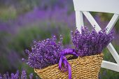 picture of lavender field  - Summer,lilac blooming field of lavender,white chair with backrest stands among the flowers on the chair is brown wicker basket full of flowers of lavender,air,color and aroma of mountain lavender.