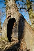 pic of hollow  - old tree with a hollow in the spring park - JPG