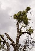 stock photo of mistletoe  - Detail of the mistletoe infested tree found in the forest in spring - JPG