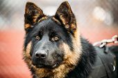 picture of sheep-dog  - Black German Shepherd Dog Sitting On Ground - JPG
