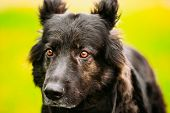 pic of sheep-dog  - Black German Shepherd Dog. Close Up Portrait On Green Background