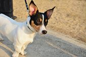 Постер, плакат: Fox Terrier Dog