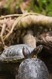 image of terrapin turtle  - Two terrapin turtles in nature - JPG