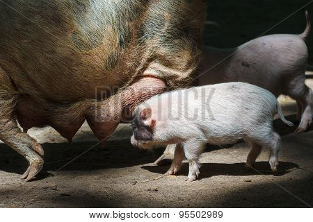 Big Pig Feeding Little Piglets