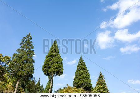 Row of Japanese cedar trees