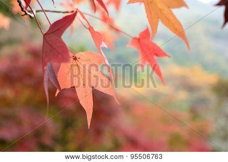 Close up sweetgum leaf