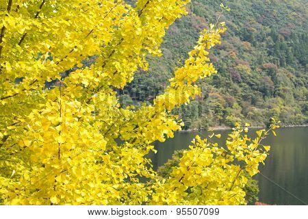 Autumn ginkgo leaves