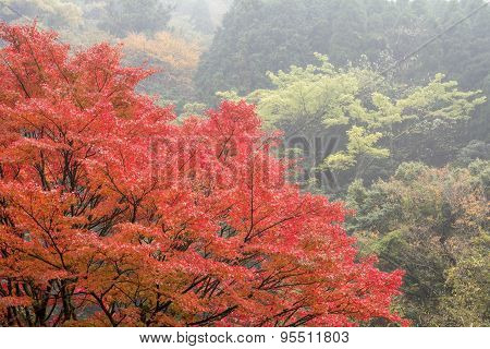 Autumn maple and forest