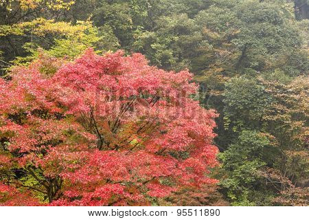 Autumn maple in forest