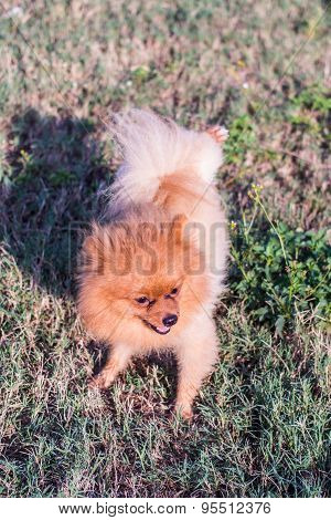 Pomeranian Dog, Cute Pet
