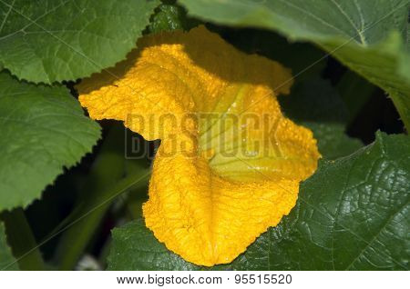 Pumpkin Blossom In The Rain
