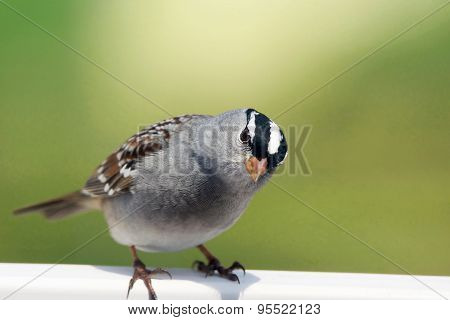 White-crowned Sparrow Looking