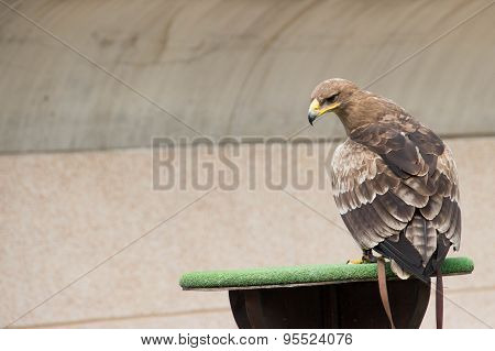 Steppe Eagle in training